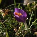 Pollen sammeln an Krokusblüte