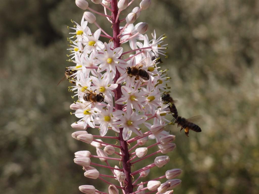 Honigbienen an Meerzwiebel, offensichtlich eine lohnende Nektar- und Pollenquelle!