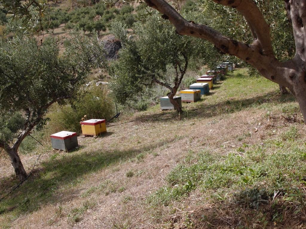 Kreta: Bienen im Olivenhain