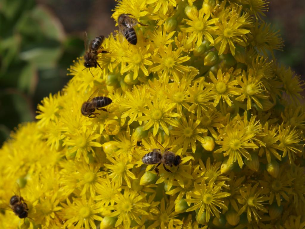Bienen an Aeonium manriqueorum