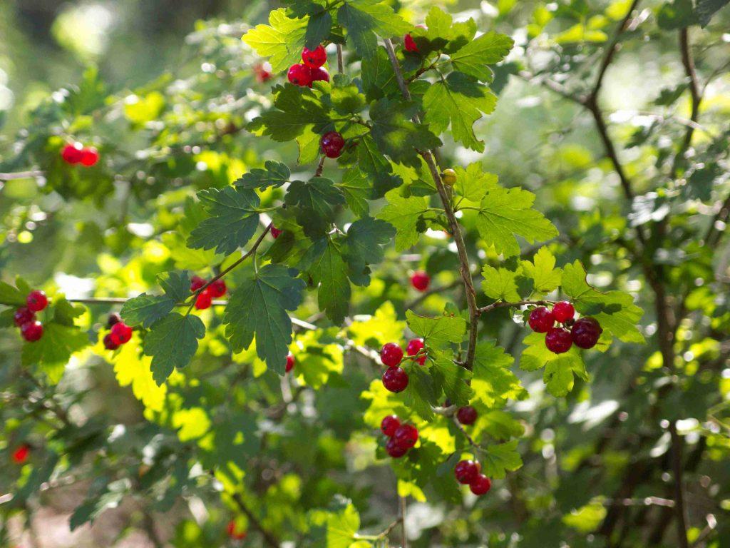Alpen-Johannisbeere (Ribes alpinum)